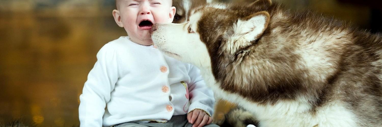 baby husky wallpaper desktop - photo #33