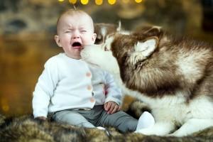 Baby crying Wallpapers siberian husky