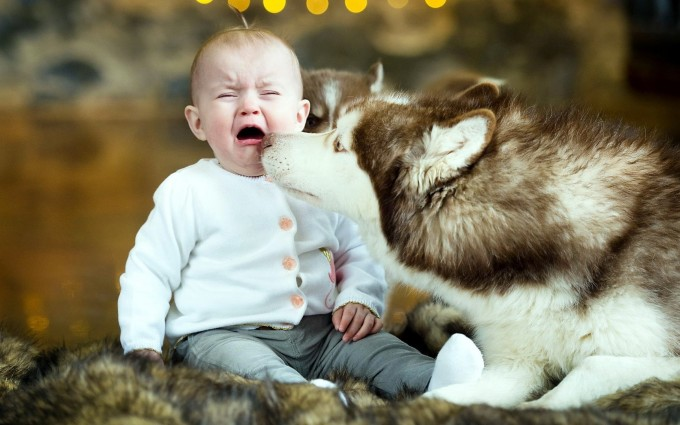 Baby crying Wallpapers siberian husky