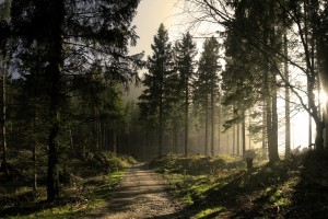 Forest Wallpapers HD misty