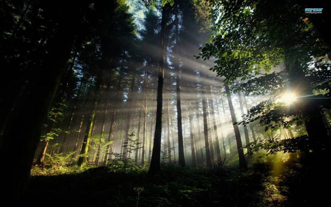Forest Wallpapers HD sunlight