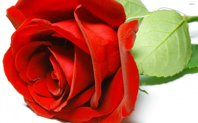 Red Roses Wallpapers HD A39 awsome