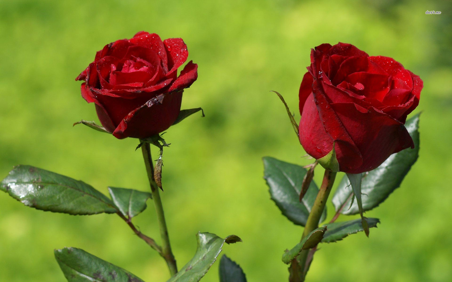 Red Roses Wallpapers HD A39 couple