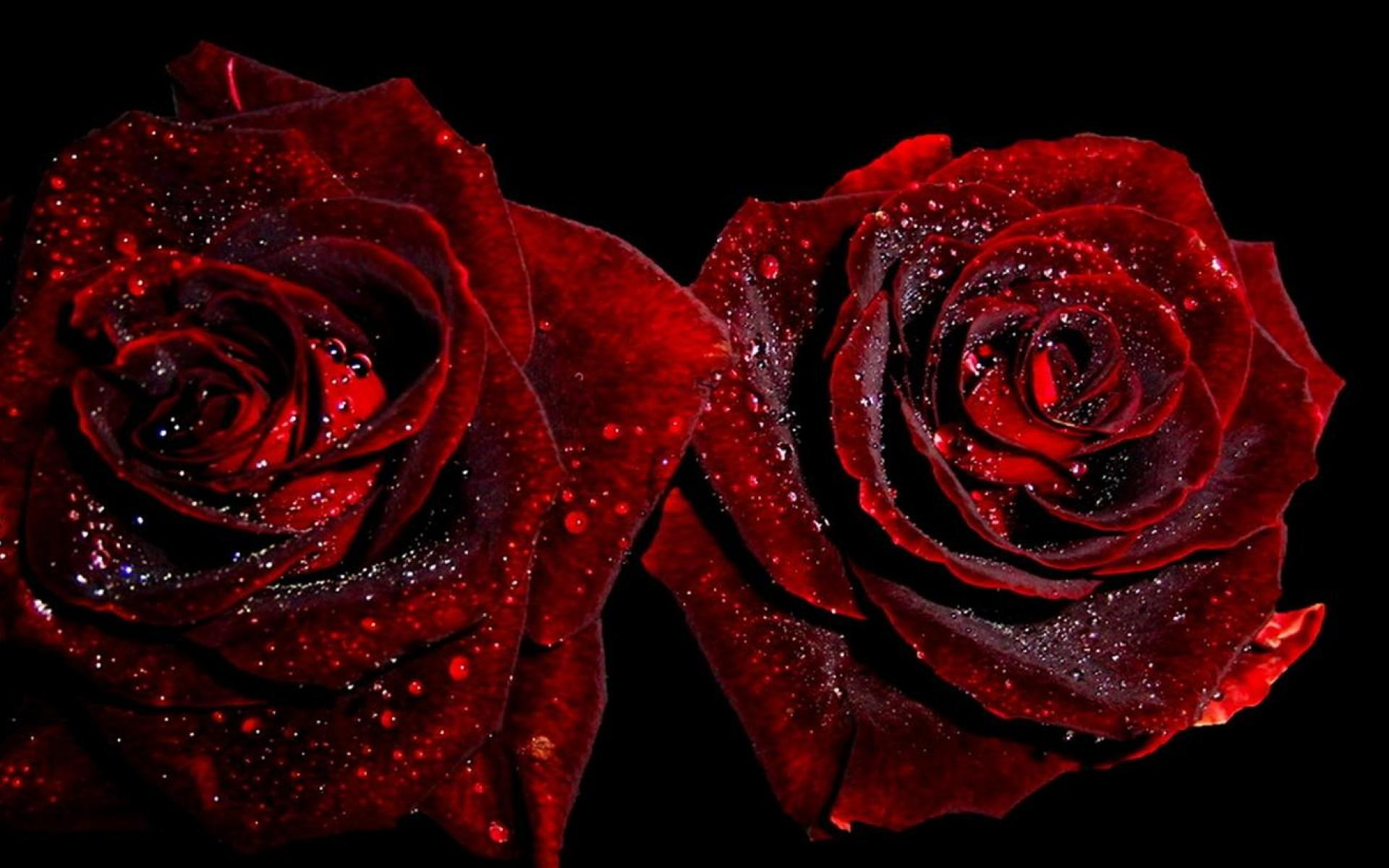 Red Roses Wallpapers HD A2