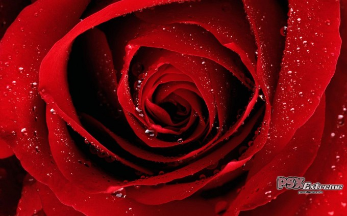 Red Roses Wallpapers HD A39 cute