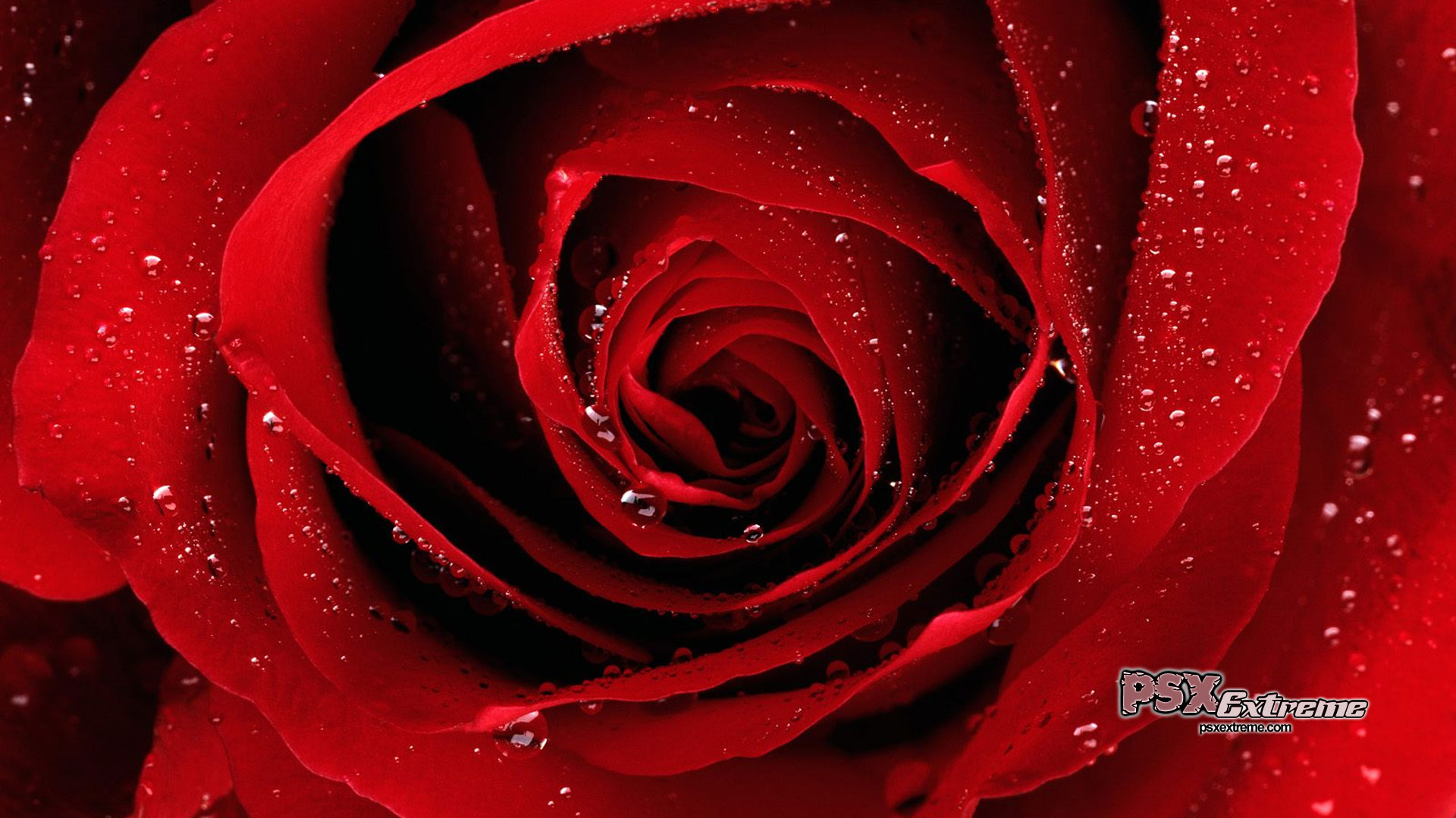 Red Roses Wallpapers HD A25