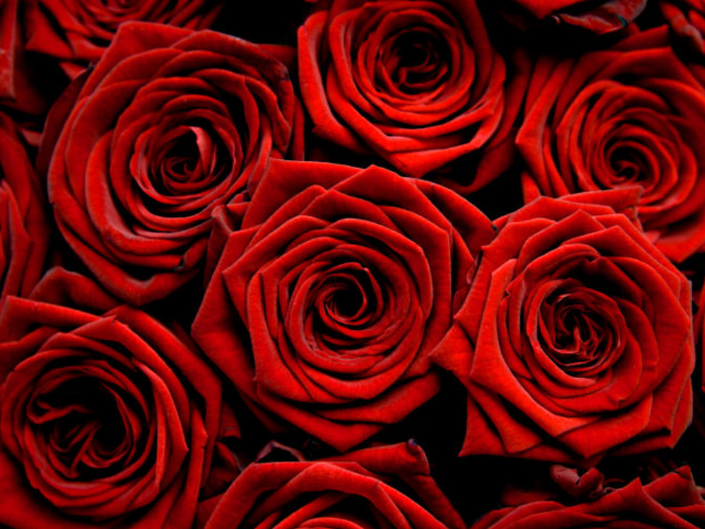 Red Roses Wallpapers HD A27