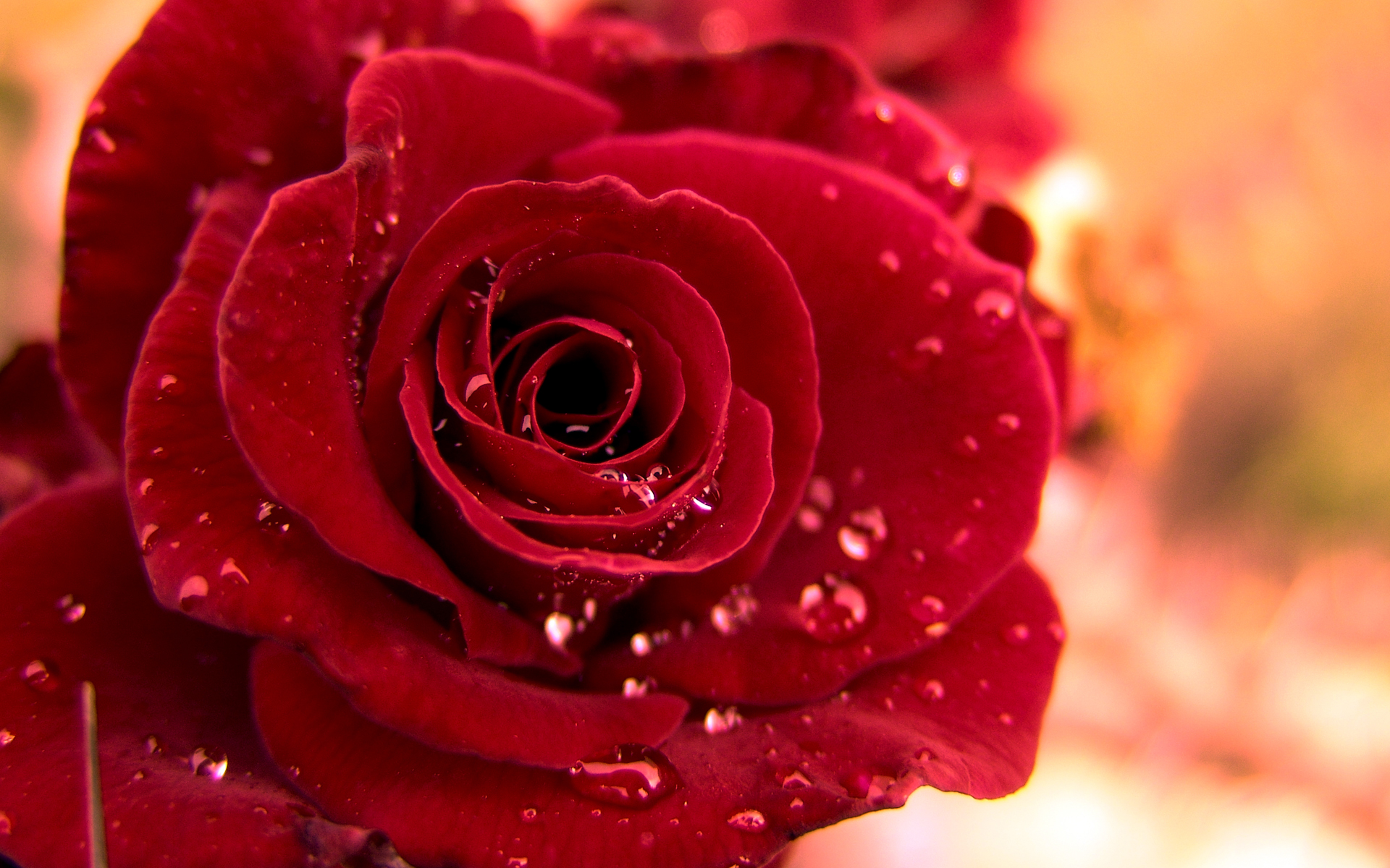Red Roses Wallpapers HD A39 love dew drops