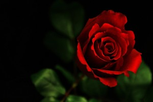 Red Roses Wallpapers HD A6