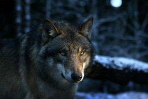 Wolf Wallpapers HD A12
