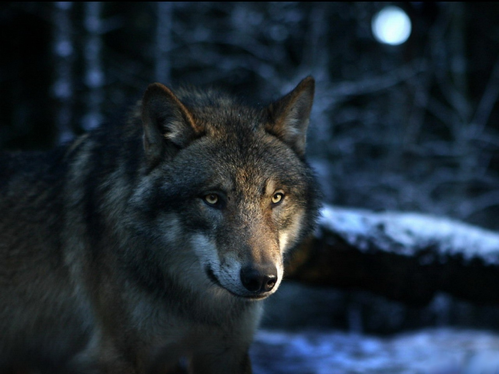 hd wallpaper of wolf