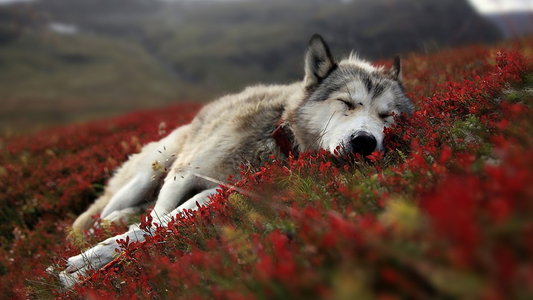 Wolf Wallpapers HD A13