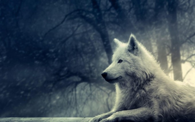 arctic wolf wallpaper