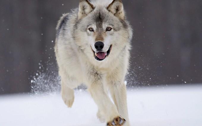 wolf 1080p wallpaper