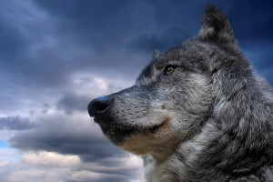 Wolf Wallpapers HD A3