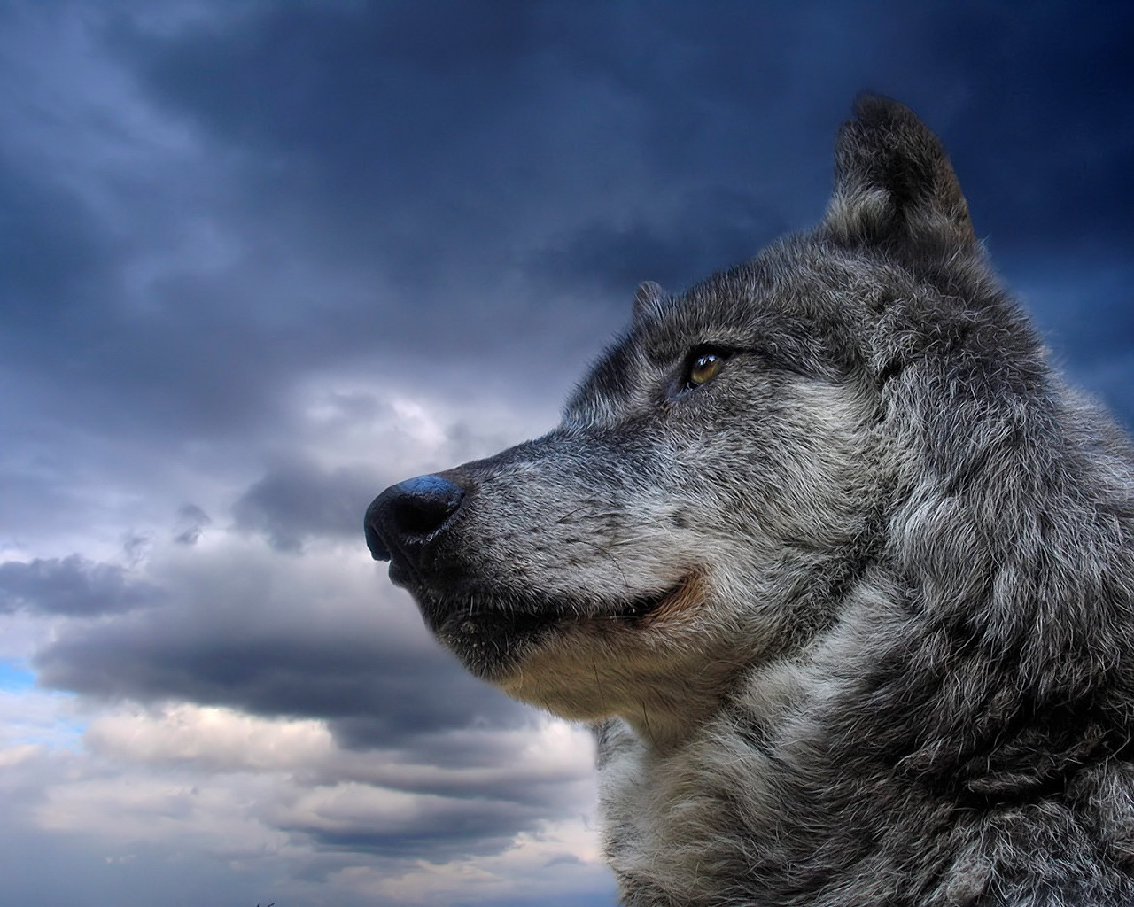 wolf pictures amazing
