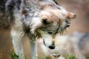grey wolf wallpaper cute