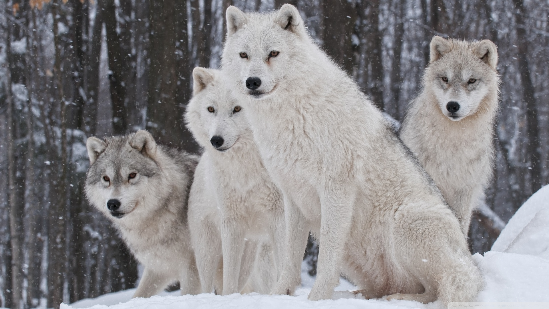 wild wolf pack wallpaper - photo #12