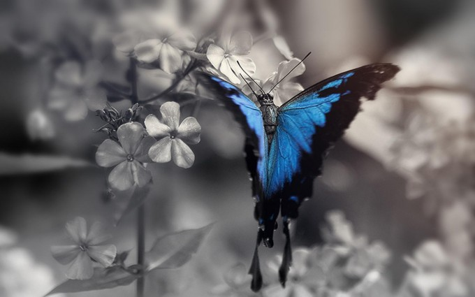 blue butterfly wallpaper 3