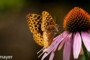 butterfly-on-coneflower