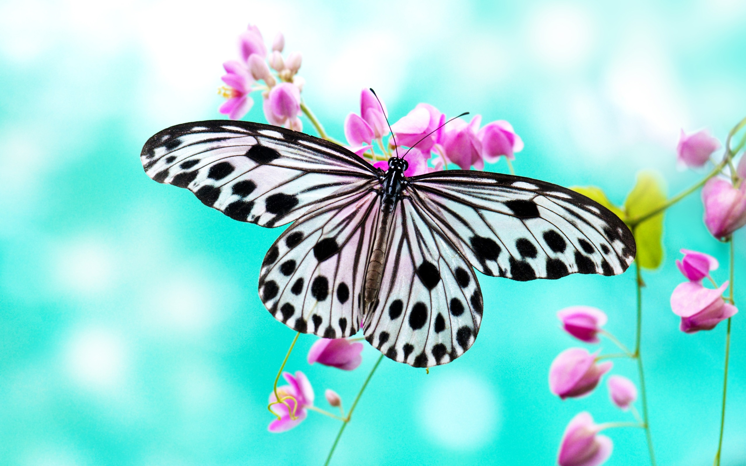 butterfly wallpaper cyan background