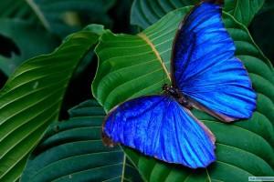 butterfly wallpaper dark blue