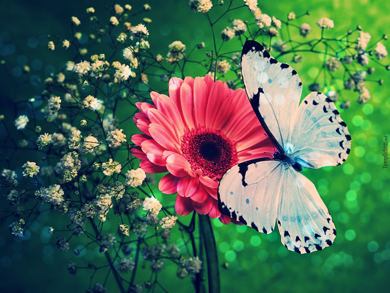 butterfly wallpaper photography