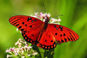 butterfly wallpaper red