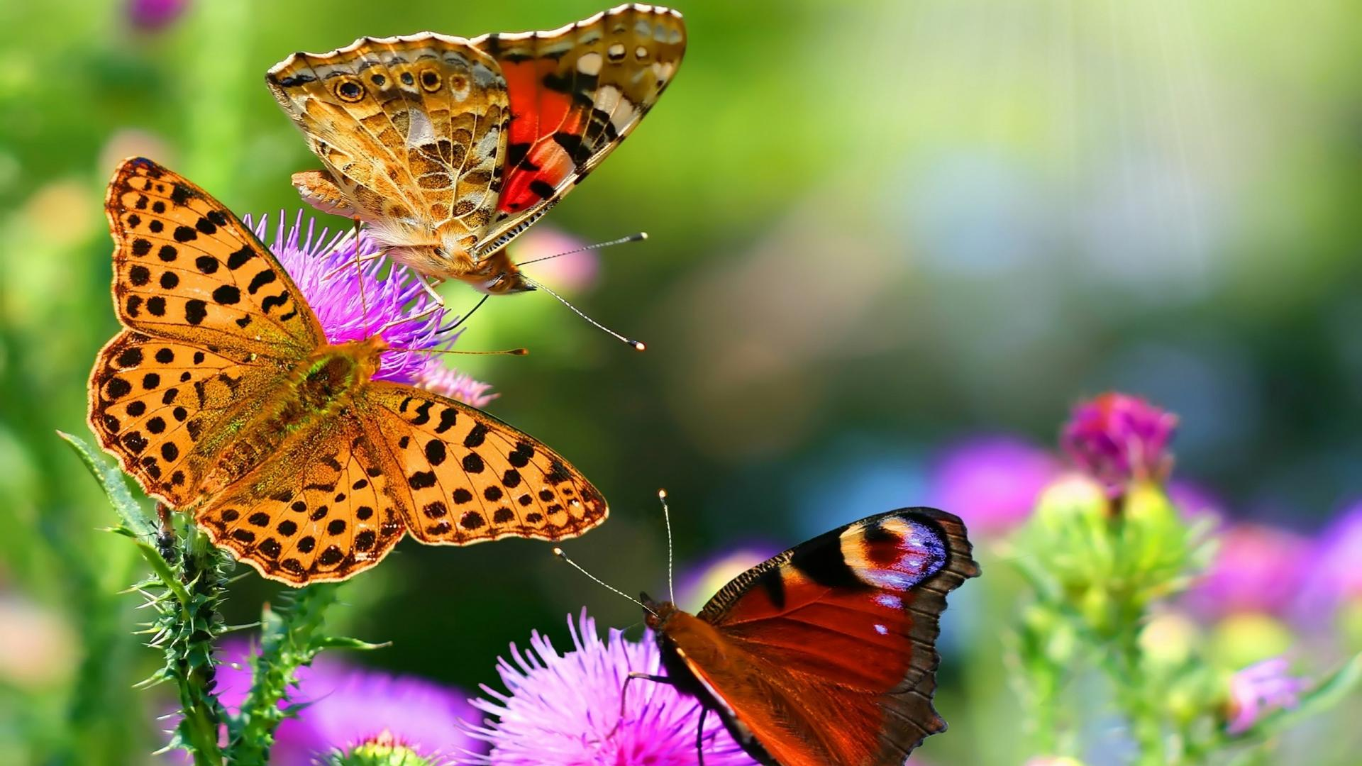 butterfly wallpaper sweet
