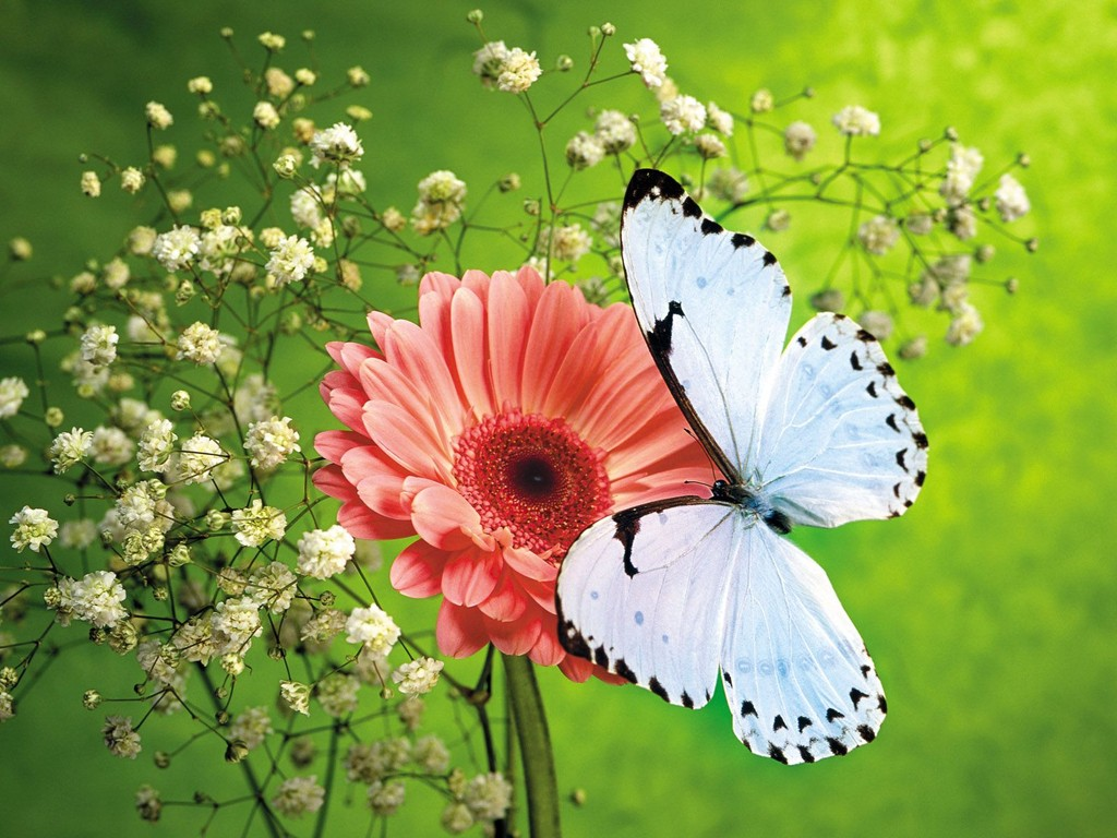 butterfly wallpaper white