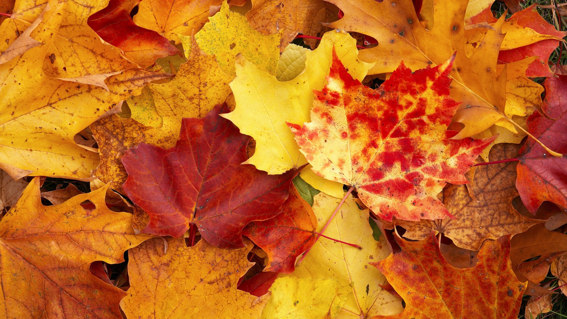 fall wallpapers yellow leaves