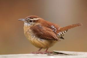 bird wallpaper brown