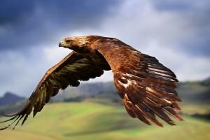 bird wallpaper brown eagle