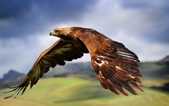 bird wallpaper brown eagle