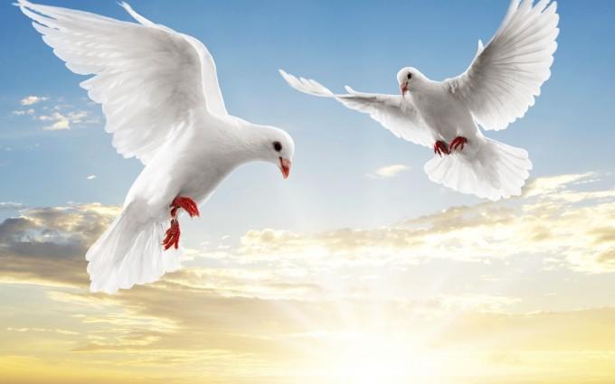 bird wallpaper dove sunset