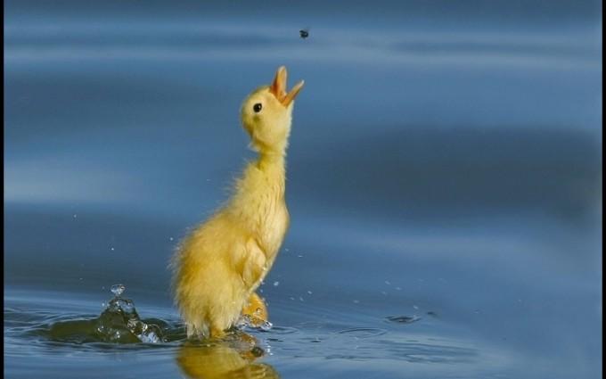 bird wallpaper duck