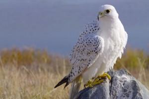 bird wallpaper eagle