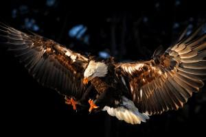 bird wallpaper eagle brown