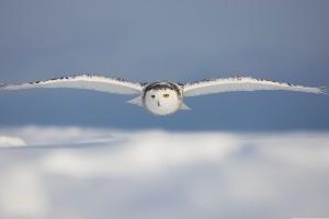 bird wallpaper owl