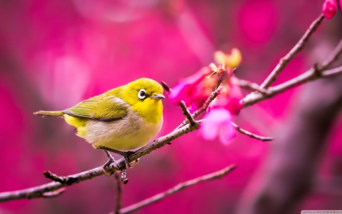 bird wallpaper pink