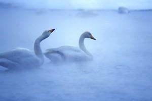 bird wallpaper swan