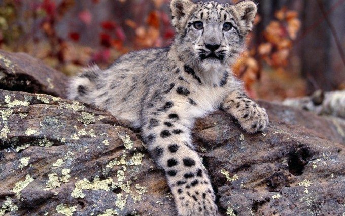 cute leopard wallpaper snow