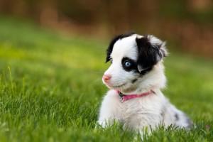 dog wallpaper blue eyes