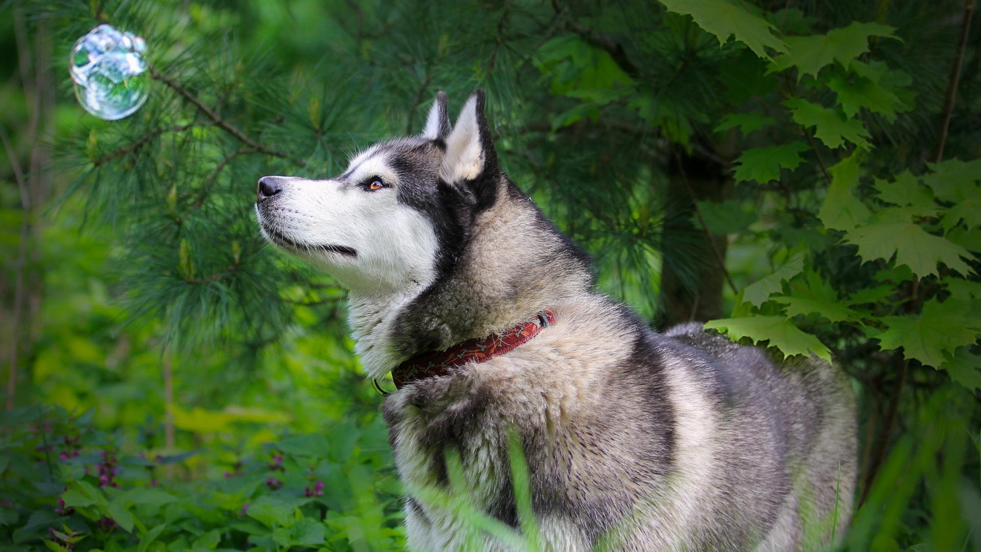 dog wallpaper husky