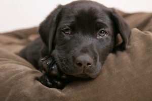 dog wallpaper labrador puppy