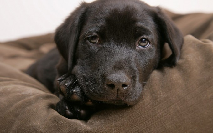 dog wallpaper labrador puppy
