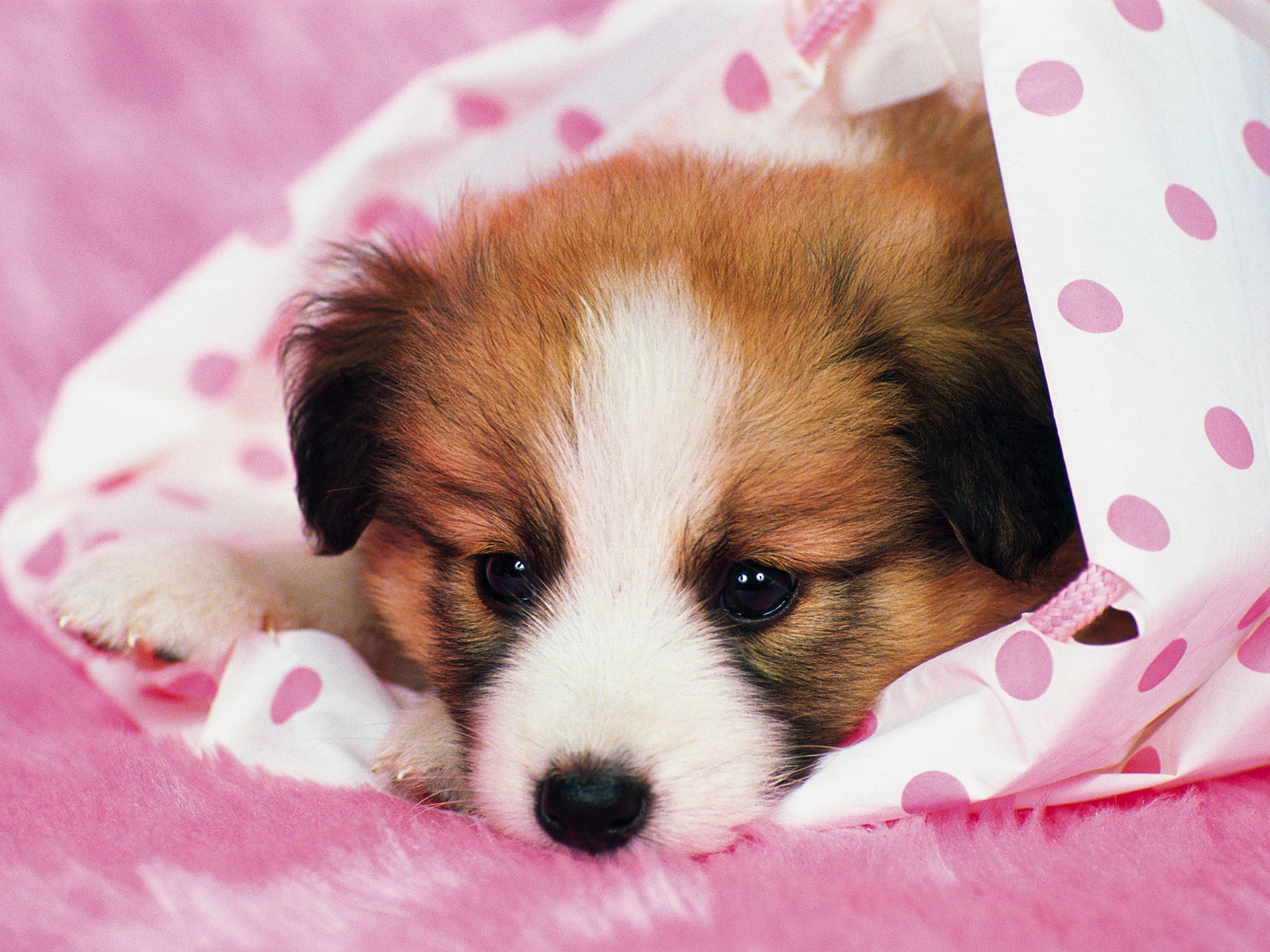 dog wallpapers pink