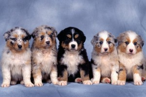 dog wallpapers puppies