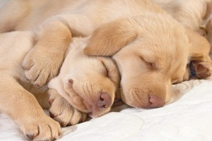 dog wallpapers sleep