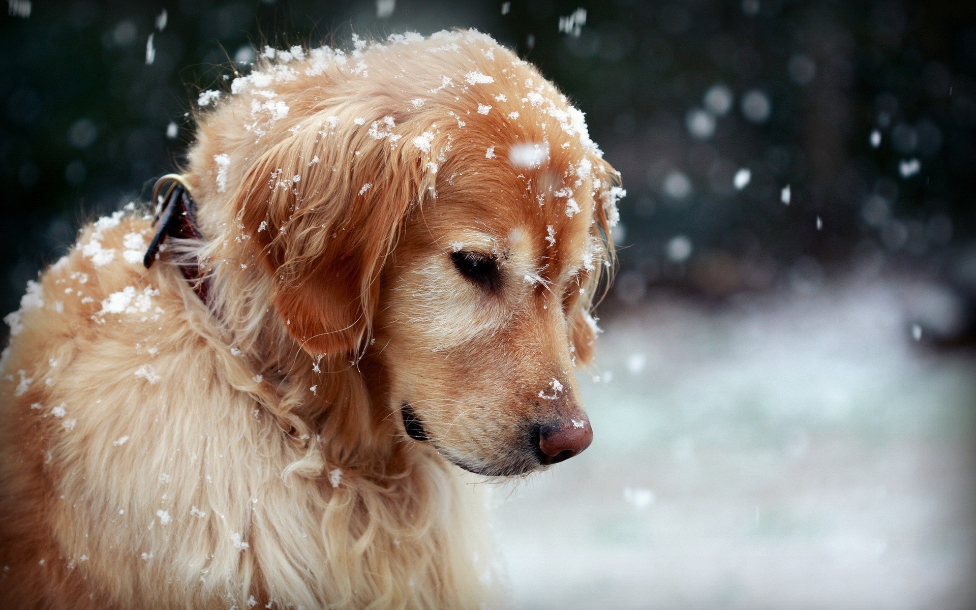 dog wallpapers snow winter